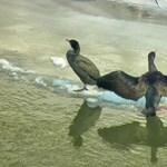 Több száz kárókatonát lőnek ki a Tisza-tónál