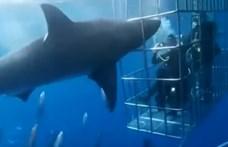 Halálra sebezte magát egy nagy fehér cápa, miközben búvárokra támadt – videó
