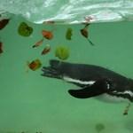 Újra lecsapott az állatkerti fantom, holtan találtak egy fiatal pingvint