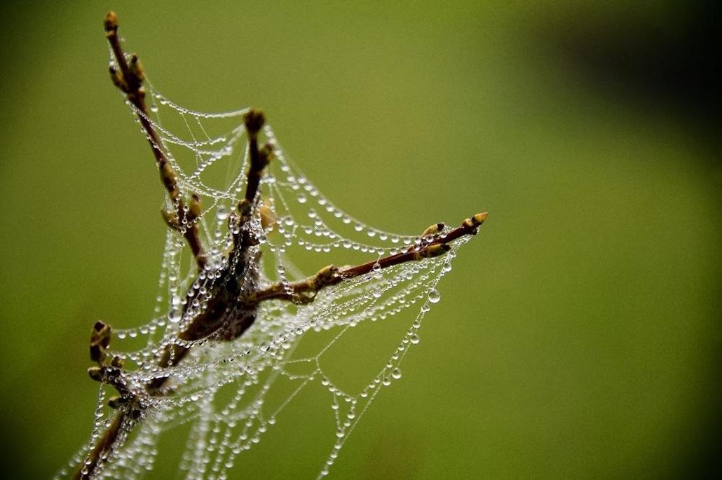 afp. pók, pókháló, nagyítás - Centreville, Egyesült Államok, 2011.12.06. Rain drops hang off a spider web on a Forsythia plant in Centreville, Maryland on December 6, 2011.