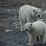 Jegesmedveriadó Észak-Oroszországban