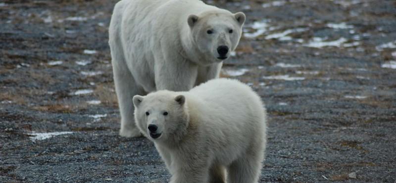 Éhes jegesmedvék tucatjai kóborolnak egy orosz város környékén
