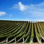 Eddig jó az időjárás az idei szőlőnek