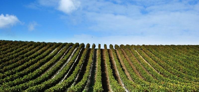 Inkább érés előtt szüretelik le a szőlőt a magyar borvidékeken, azért legalább biztosan fizetnek