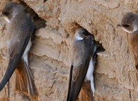 Örömhír, megmenekültek a mernyeszentmiklósi fecskefészkek