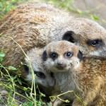 Kisfilm a világ egyik legcukibb állatáról