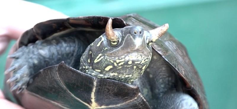Ilyen teknőst még nem láttak a tudósok: szarvak nőttek a szemhéjára – videó