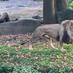 Bemászott egy oroszlánhoz és táncolni kezdett egy nő