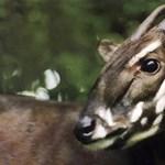 Fotók: kipusztulhat a világ egyik legritkább állata