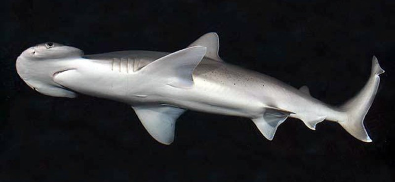 Ilyen még nem volt: találtak egy cápát, ami füvet is eszik