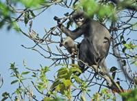 Felfedeztek egy új majomfajt, a gond csak az, hogy máris kihalófélben van