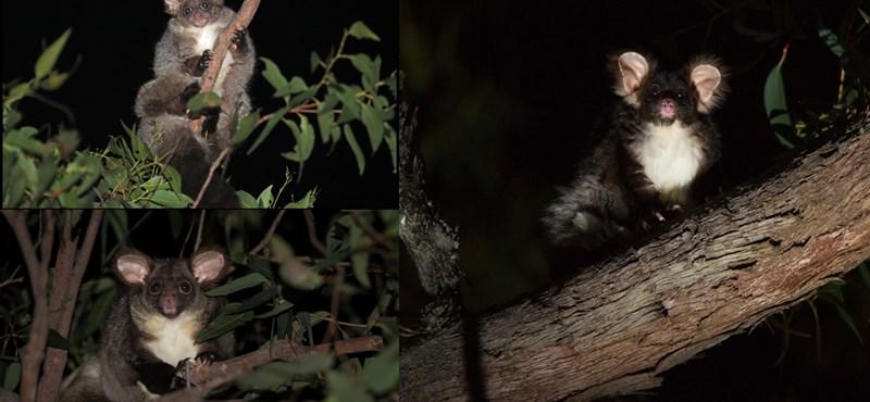 Új erszényesfajokat fedeztek fel Ausztráliában