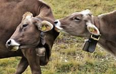 Indiában elterjedt, hogy a tehéntrágyával bekent bőr megvéd a koronavírustól – természetesen nem igaz