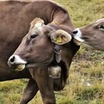 Tehenek nélkül csináltak tehéntejet izraeli tudósok