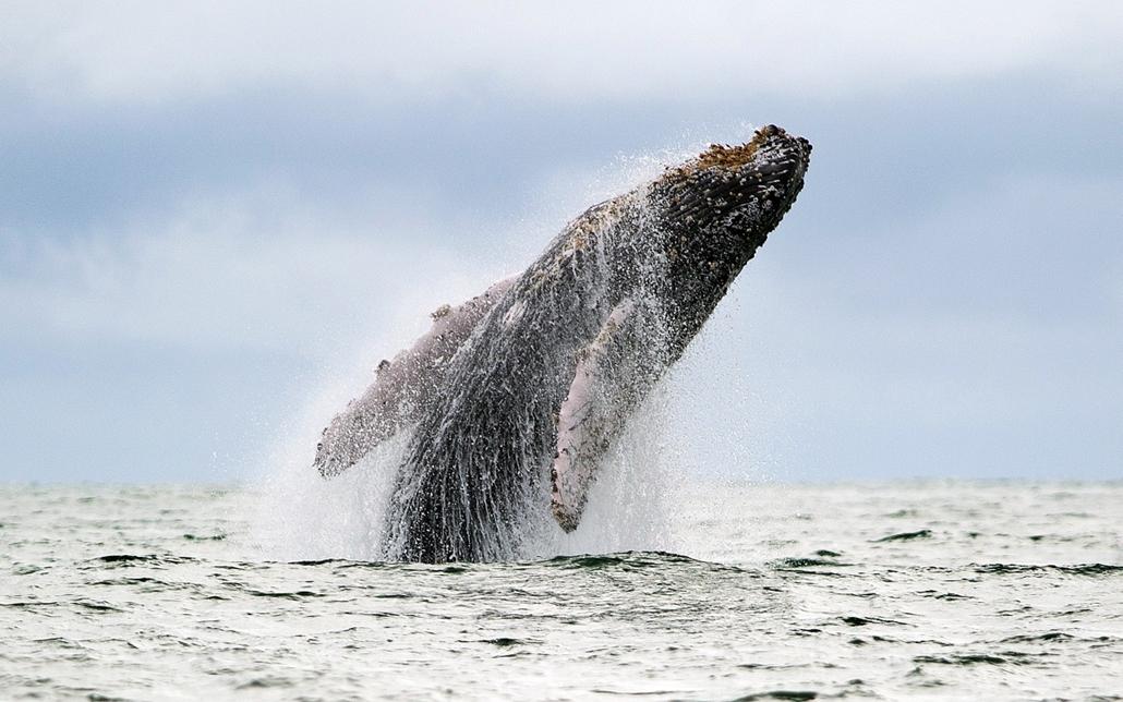 Uramba Bahia Természetvédelmi Park, Kolumbia: hosszúszárnyú bálna tör a felszínre a Csendes-óceán partjától nem messze. - 7képei plusz
