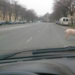 Titokzatos malac Szegeden