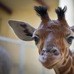 Ennél cukibb videó ma már nem lesz: felvették a kis zsiráf első mozdulatait