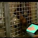 Vajon tényleg egy majom is képes használni az Apple termékeit? (videó)