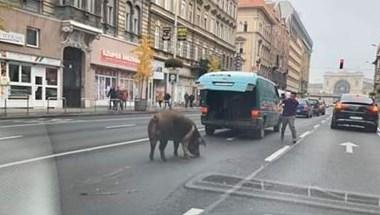 Disznó sorolt be a belső sávba a Rákóczi úton Budapesten