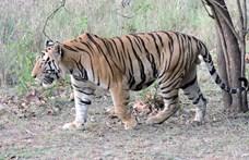 És ön mit szólna, ha az ágyában pihenne meg egy tigris?