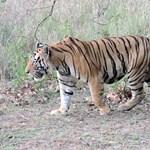 Először láttak bengáli tigrist 3165 méter magasan Nepálban
