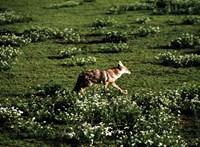 Kutyákkal keresték az aranysakálokat a Velencei-tó környékén