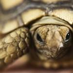 Meleg a világ legidősebb teknőse