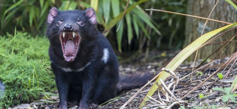 Dos especies de aves fueron casi exterminadas por los demonios de Tasmania rescatados