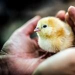 Génszerkesztett csirkén dolgoznak a kutatók