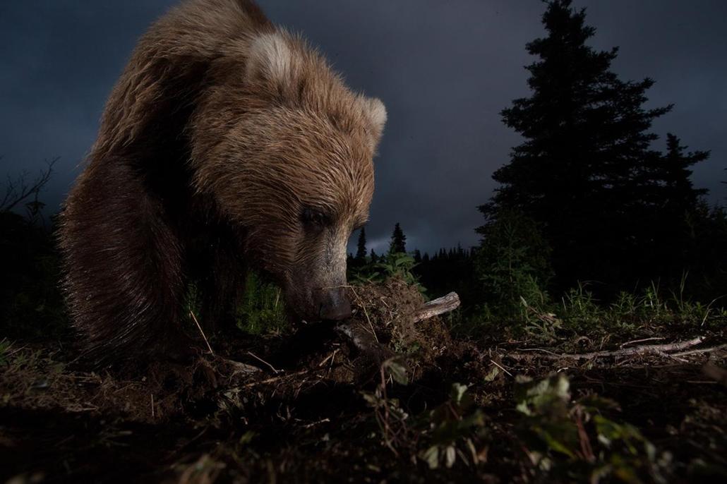 'Honorable mention', 'temészet' kategória - Alaszka, Lake Aleknagik, Bear Creek: barnamedve fotócsapda segítségével fotózva. - NatGeonagy