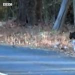 Gyönyörű ritkaság: fekete leopárdot filmeztek le Indiában – videó