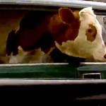 Az oroszoknál az élő tehén a bólogatós kutya – videó