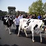 Bedőlt egy tehenészet a tej túl alacsony felvásárlási ára miatt