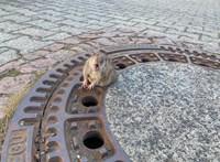 Újra patkányveszély van Budapesten