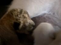 Bájos: oroszlánbébit szoptatott a gondos kutyamama