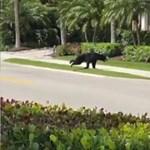 Medve kóborol egy floridai városban
