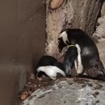 A fajfenntartás miatt választják szét a meleg pingvineket Torontóban