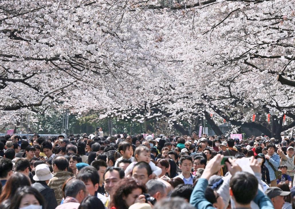afp.14.03.29. - Taito, Japán: Virágzik a cseresznye