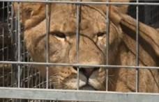 Így szökött ki az oroszlán a magyar állatkertből – videón a látogatók és a gondozók