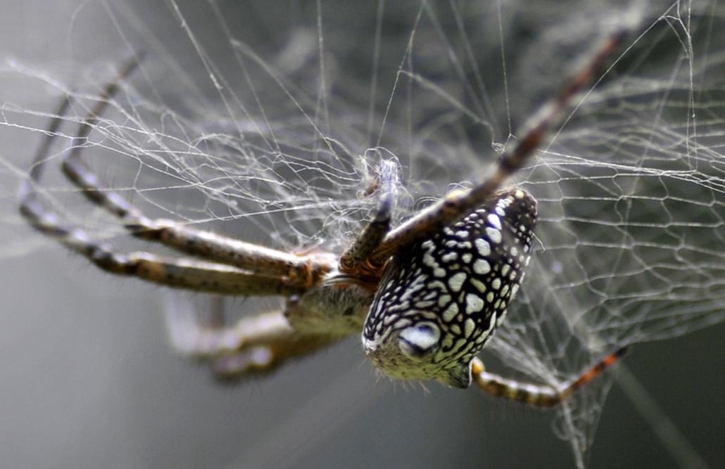 afp. pók, pókháló, nagyítás - 2011.11.15. NEPAL, Kathmandu : A spider is seen in its web at Godavari Botanical garden on the outskirts of Kathmandu on November 15, 2011.