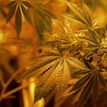 Profi marihuánaültetvényt találtak Bagon