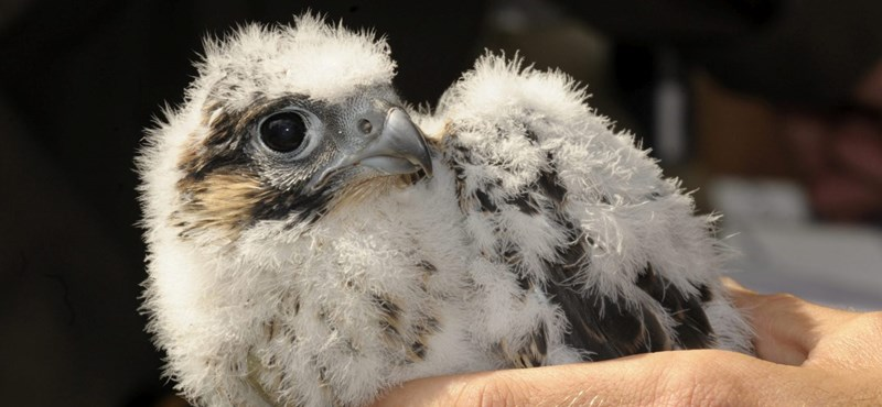 Kifosztották az év madarának fészkét a Pilisben
