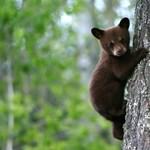 Medve kószálhat a bocsaival a Mátrában