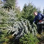 Beindult a karácsonyfaszezon: orosz piacra termel Zala megye
