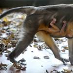 Aranyhasú mangábé született a Fővárosi Állatkertben – fotók