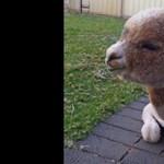 Szeret strandolni és szobatiszta az Instagram legimádnivalóbb sztárja, egy alpaka