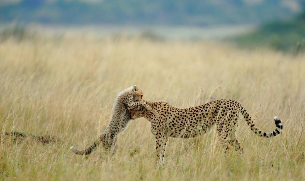 'Honorable mention', 'temészet' kategória - Kenya, Sanjeev Bhor, Masai Mara Nemzeti Park: kölykével játszó gepárd, Maliaka. Az anya híres  - NatGeonagy