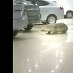 Videó: úgy sétálgatott egy krokodil egy autókereskedésben, mintha ott dolgozna