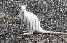 Eltűnt két kenguru Budán