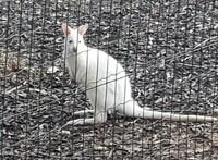 A tulajdonos szerint ellopták a kengurukat a budai hotelből, a rendőrség nem nyomoz